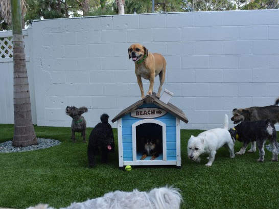 Artificial Grass Photos: Artificial Grass Installation Winter Park, Florida Indoor Dog Park, Dogs